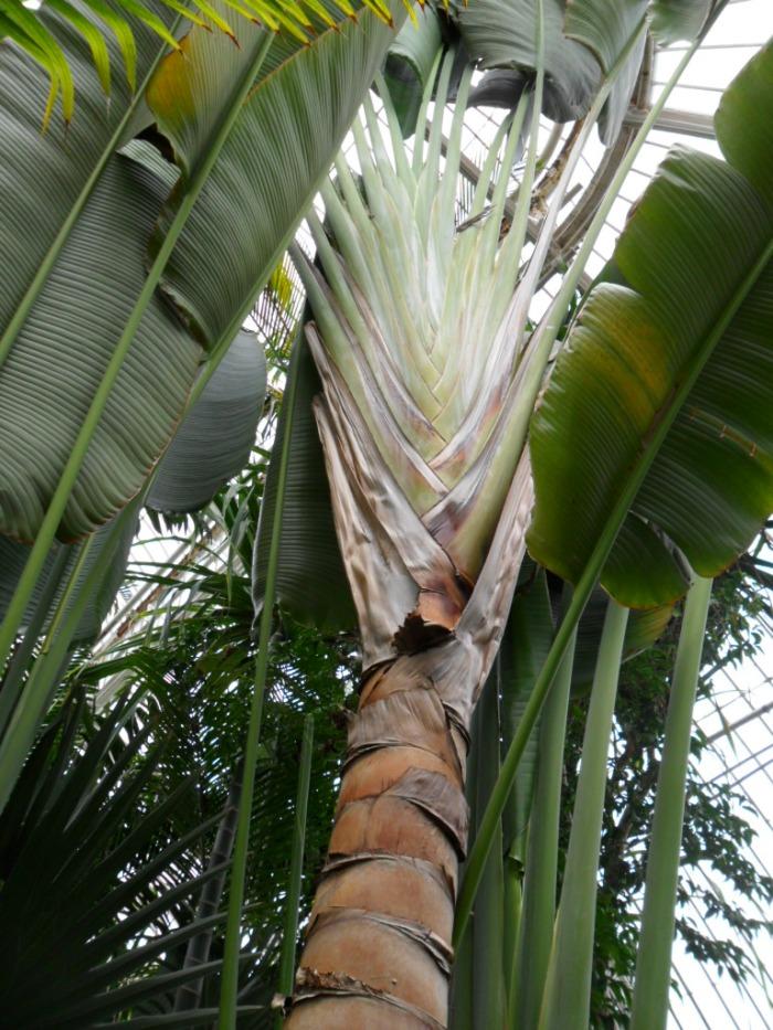 Kew Palm