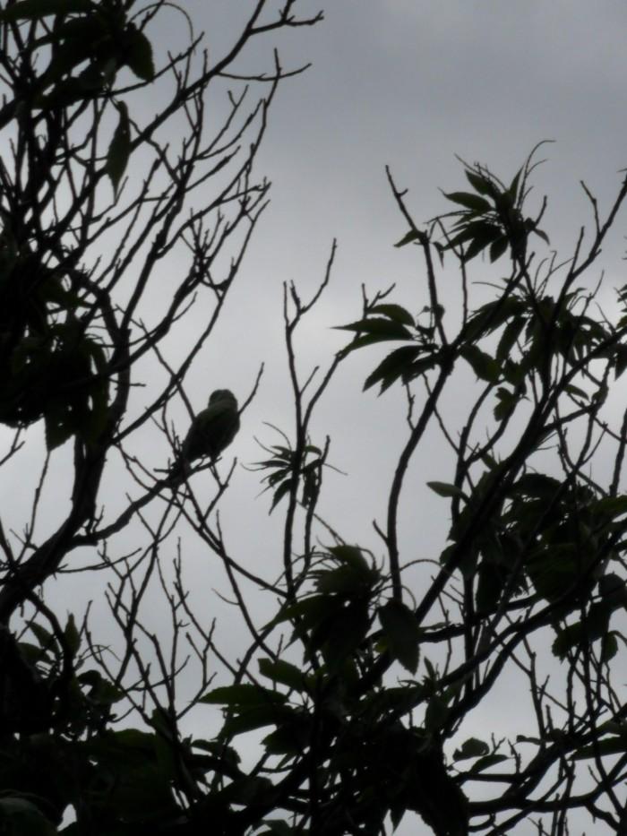 Kew Parrot